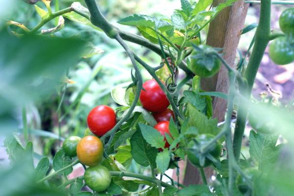 Rajčatový prales - příští rok už to snad bude vypadat tak, jak má